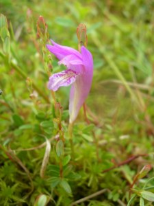 Dragon's Mouth Orchid, Arethusa bulbosa