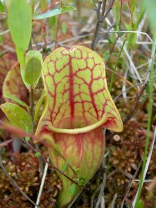 Pitcher Plant, Sarracenia purpurea