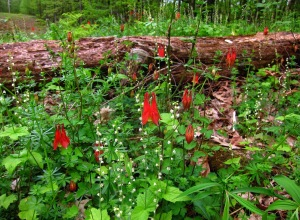 Wild columbine and miterwort at Skidmore Woods. photo by Jackie Donnelly.