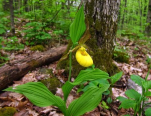 Yellow ladyslipper at Skidmore Woods. photo by Jackie Donnelly