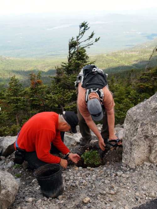 Steve Young and Ray Curran transplanting a bearberry willow in gravel on the northside of the Whiteface Veterans' Memorial Highway.